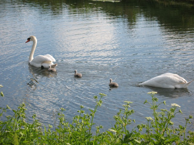 A pair of Swans with kids